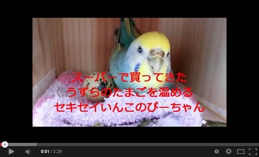 ためしてガッテン 5月21日 うずらの卵 孵化 動画.jpg